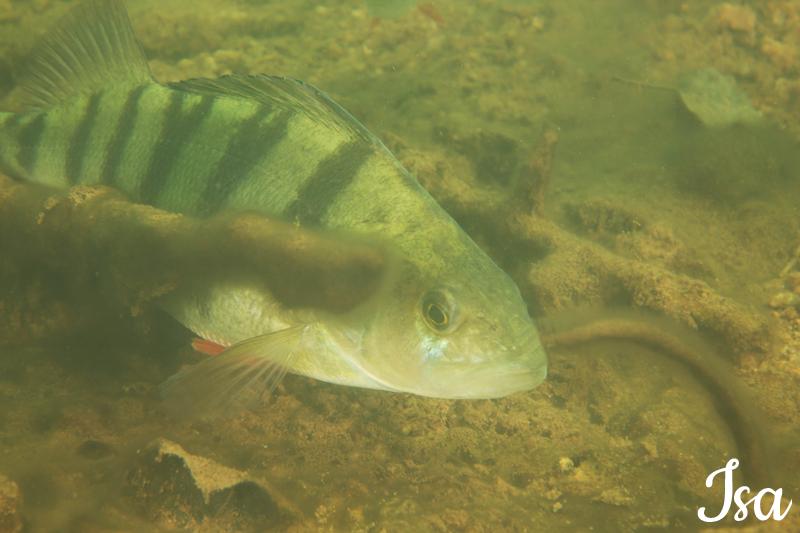 poisson perche