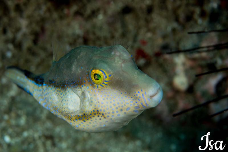 poisson-Canthigaster-capristratus_modifié-1