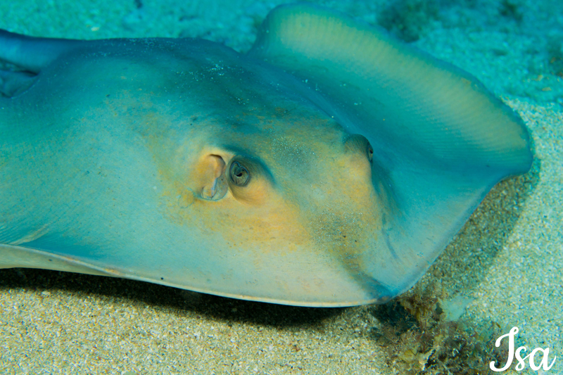 poisson-raie-pastenague-Dasyatis-pastinaca-5