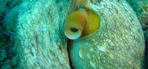 poulpe 1